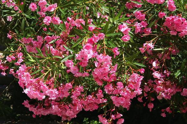 Олеандры в массовом цветении