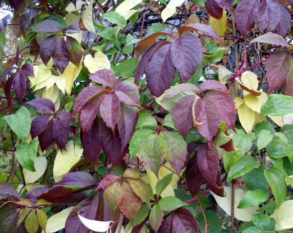 Лимонник и девичий виноград осенью