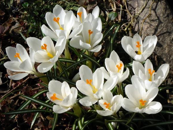 Крокус крупноцветковый Жанна д`Арк