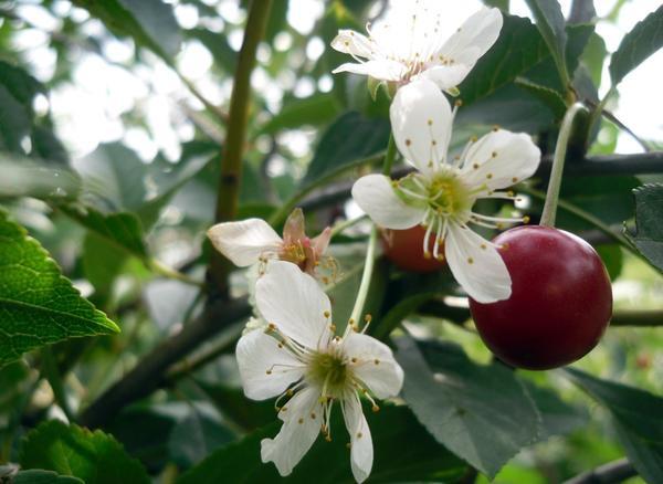 Ягоды и цветы на вишне