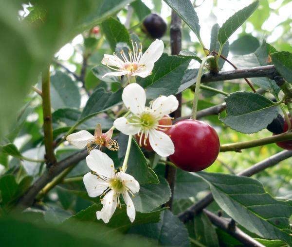 Вишня: цветы и ягоды