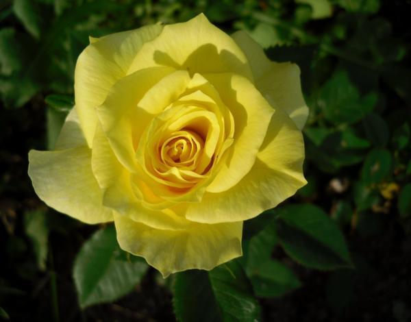 Роза во всей красе
