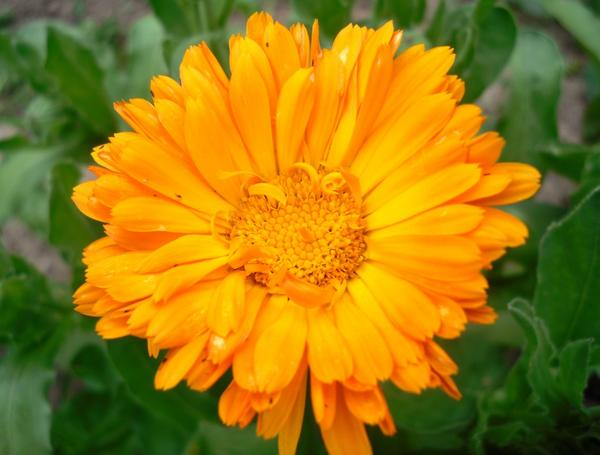 Календула ярко-оранжевая