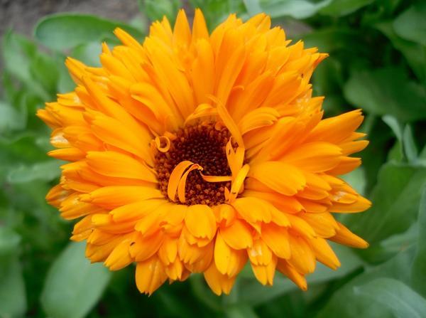 Календула махровая оранжевая