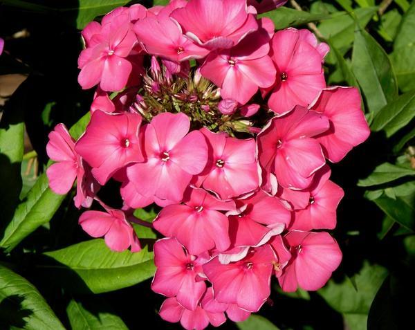 Ярко-розовый флокс