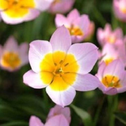 lilac Wonder