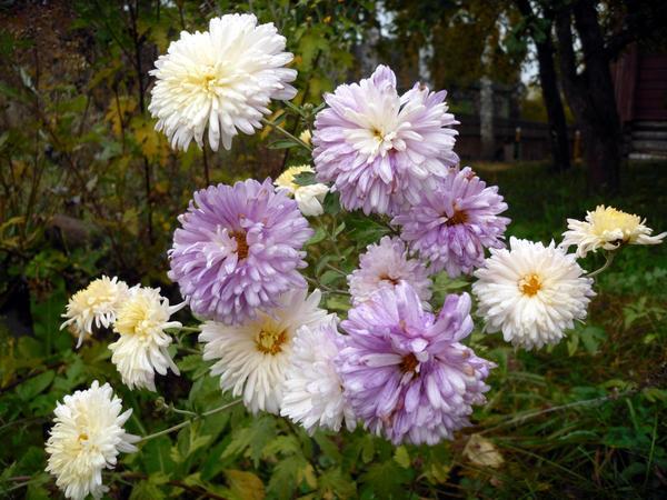 Хризантема разноцветная
