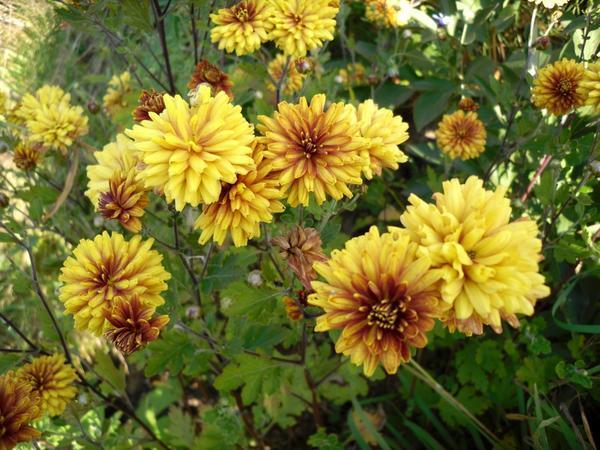 Хризантема желто-коричневая