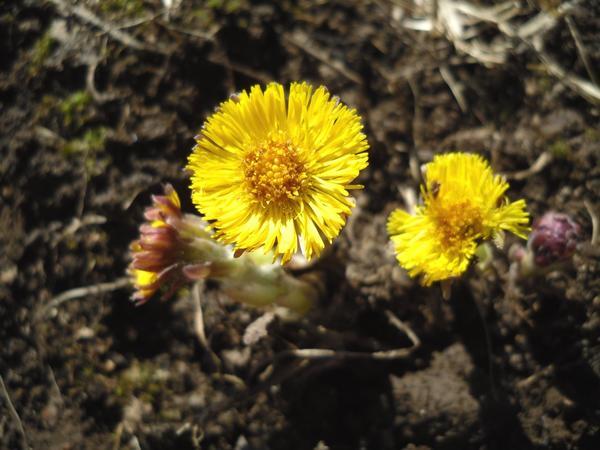 Мать-и-мачеха цветет