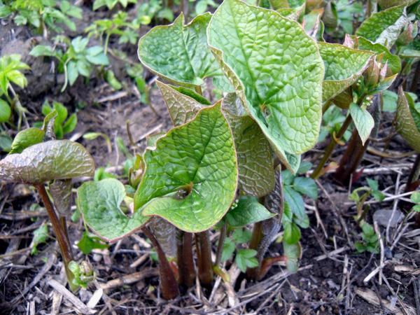 Молодые растения бруннеры