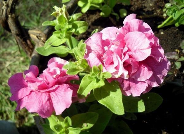 Розовая махровая петуния