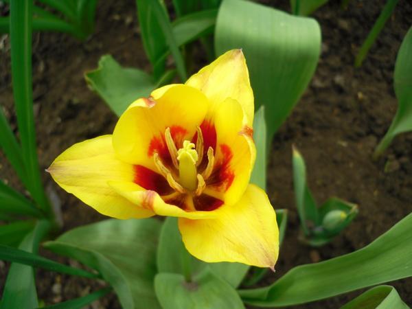Тюльпан желтый с красными прожилками