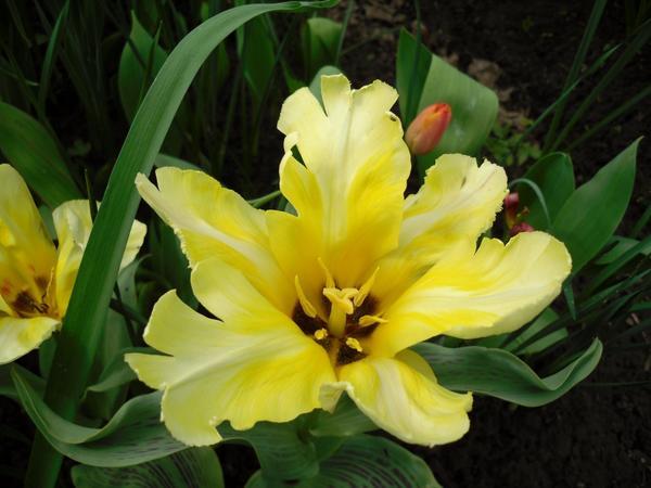 Тюльпан с резными лепестками