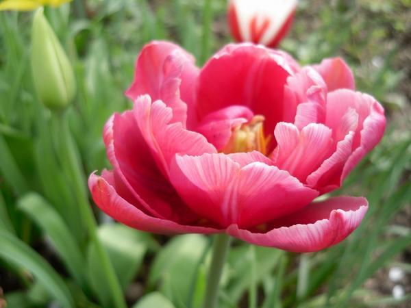 Тюльпан розовый махровый