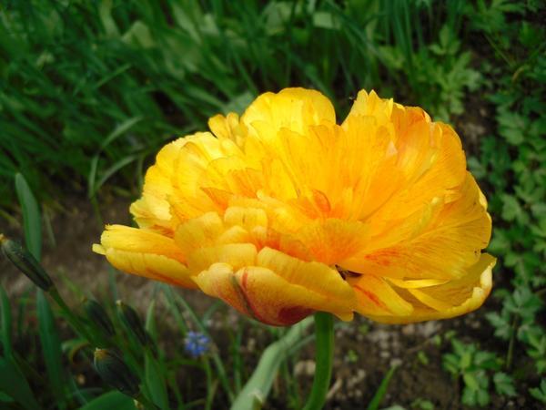 Тюльпан желтый махровый