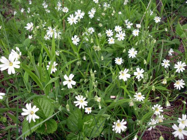 Белые лесные цветочки