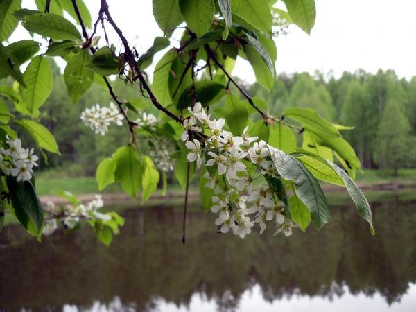Цветет черемуха