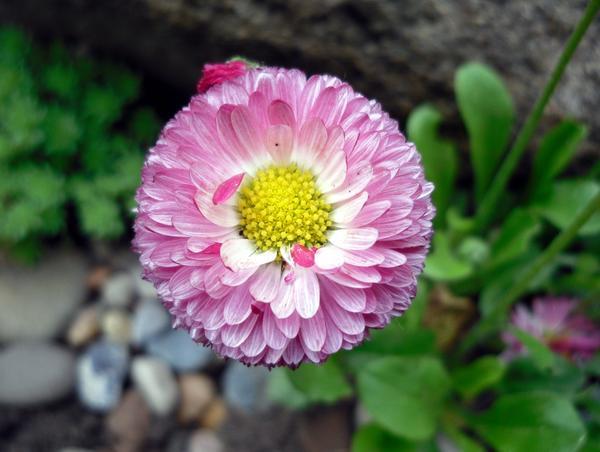 Розовая маргаритка