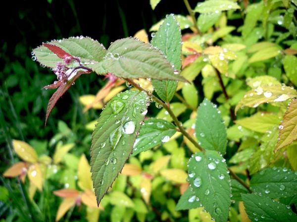 Капли дождя на листьях спиреи