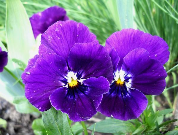 Фиолетовые виолы