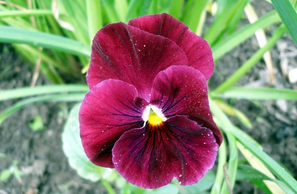 Виола темно-вишневая