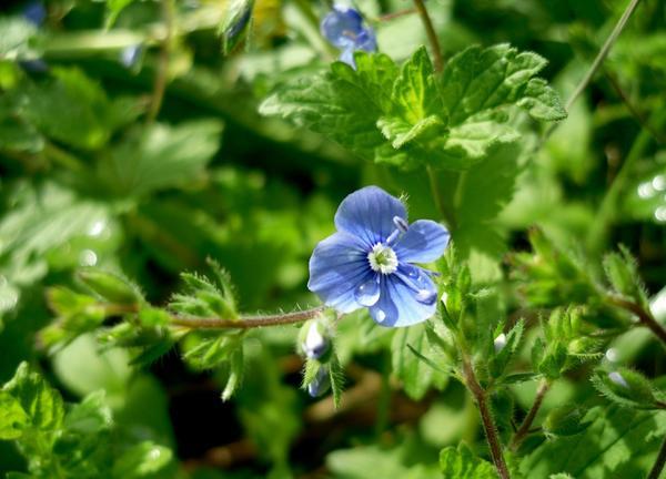Цветок вероники дубравной