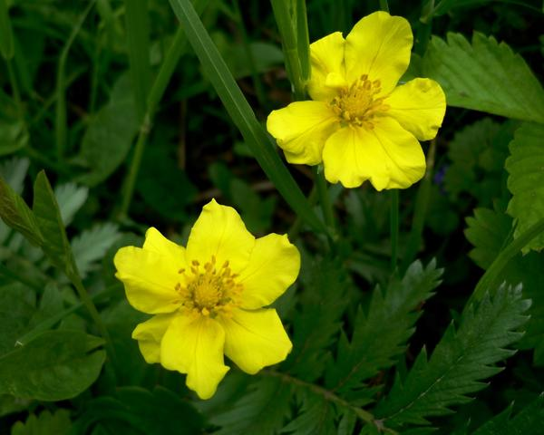Цветы лапчатки гусиной