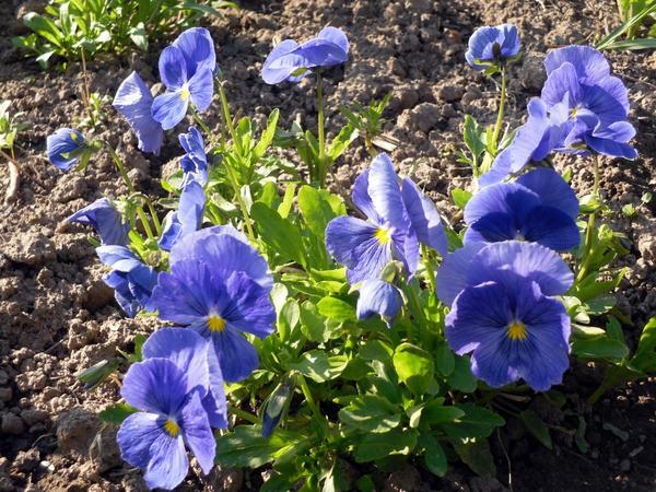 Виола голубая куст