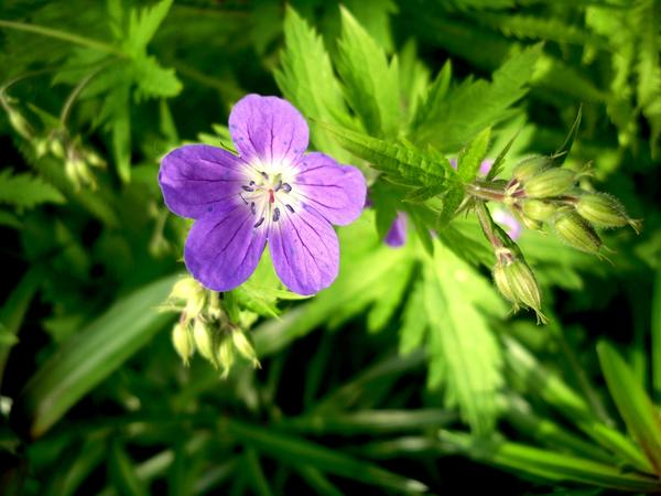 Цветок герани лесной
