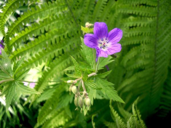 Цветок герани на фоне папоротника