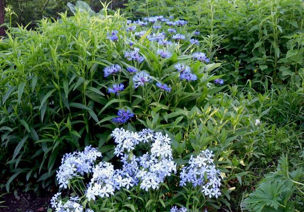 Голубой цветник
