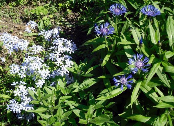 Цветник в голубых тонах
