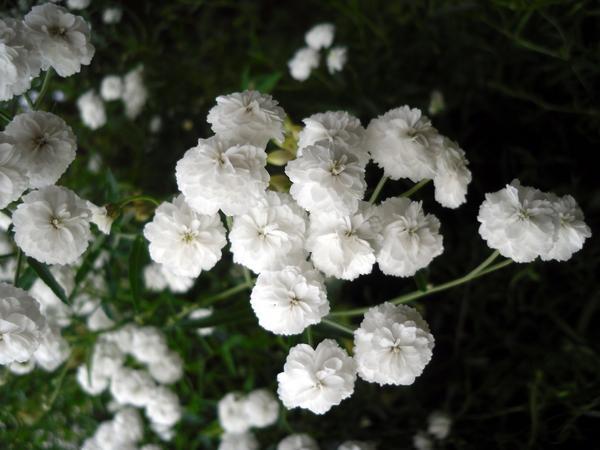 Тысячелистник птармика соцветие