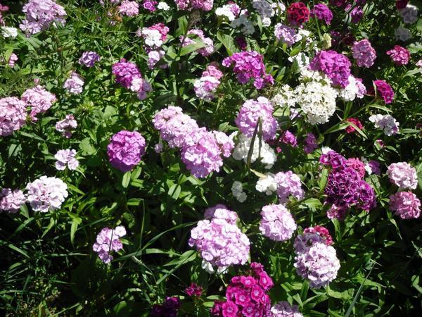 Гвоздики турецкие цветник