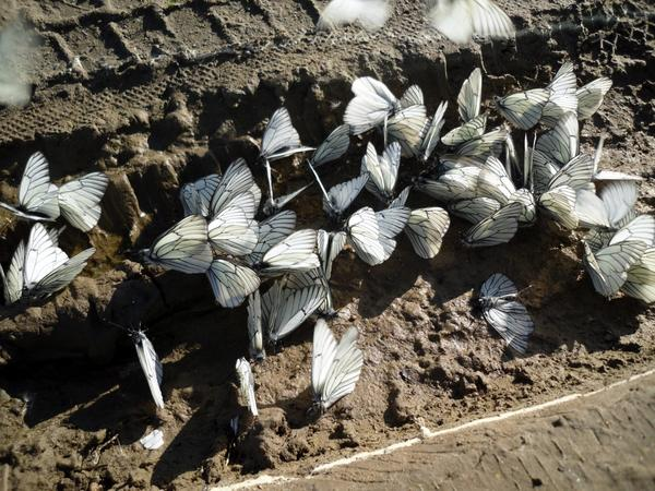 Бабочки боярышницы на дороге