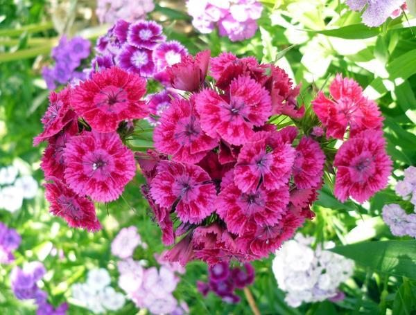 Гвоздика турецкая ярко-розовая