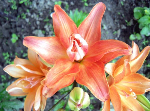 Цветы лилии азиатской Строберри Ванилла (Lilium asiatic double Strawberry Vanilla)