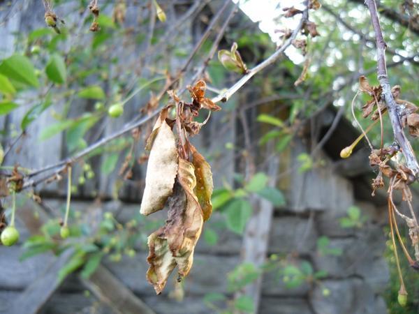 Поврежденные листья на вишне