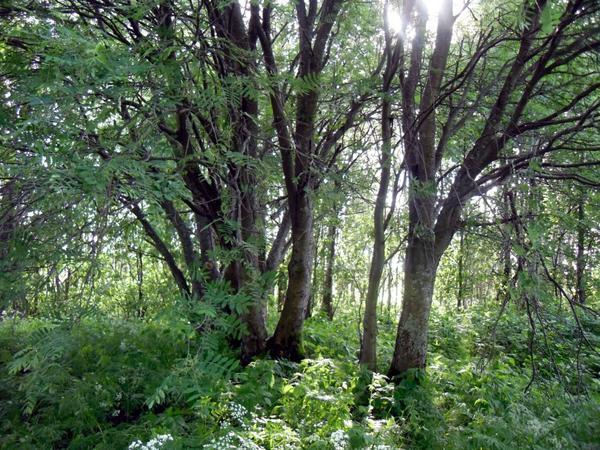 Рябины в лесу