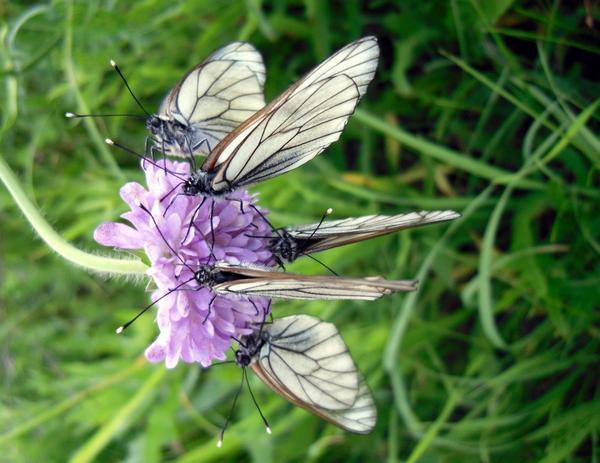 Много бабочек на одном цветке