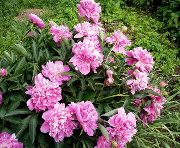 Куст розовых пионов