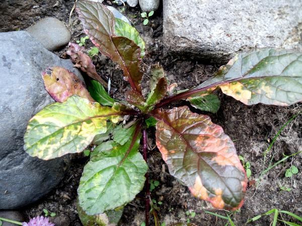 Листья живучки сорта Multicolor