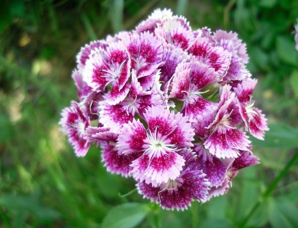 Гвоздика турецкая розовая