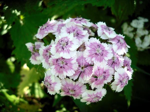 Гвоздика турецкая бело-розовая