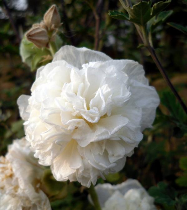 Мальва многолетняя белая
