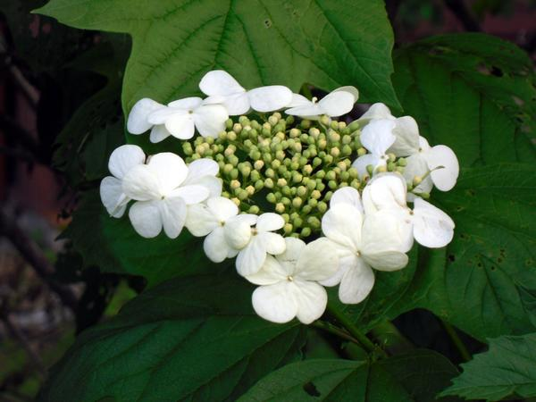 Калина цветы
