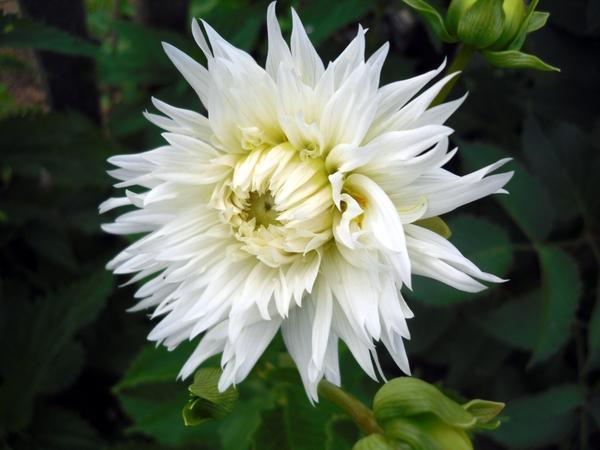 Белый георгин