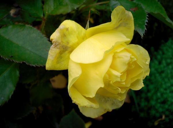 Моя осенняя роза