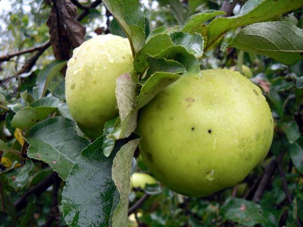 Яблоки, сорт Антоновка