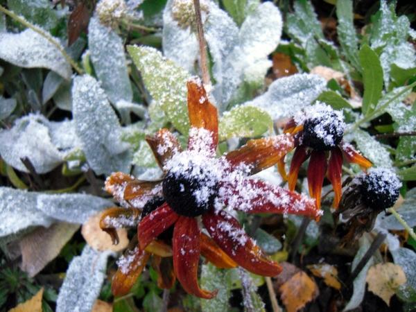Рудбекии в снегу